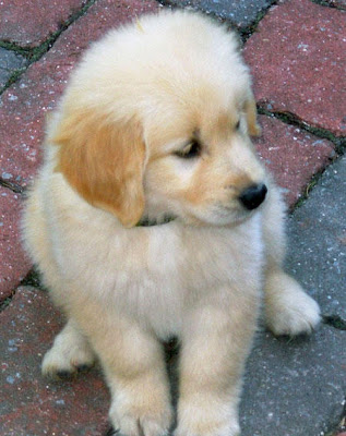 Golden Retriever Puppy Photos