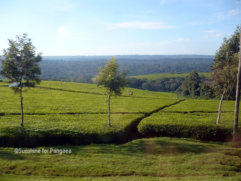 Tea field near Kericho