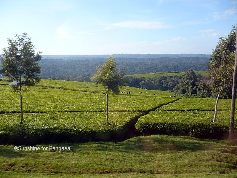 Tea field near Kericho