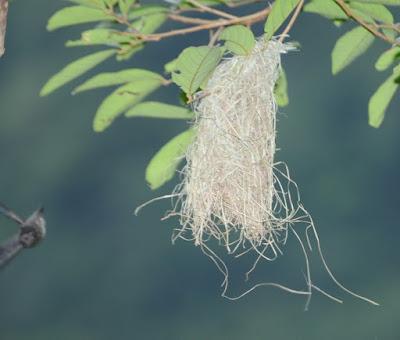 Glossy Swiftlet (Collocalia esculenta)