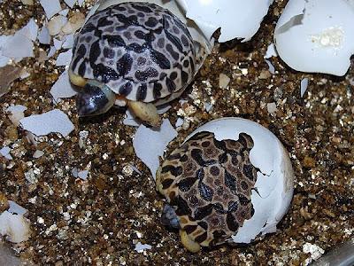 Astrochelys radiata saliendo del huevo