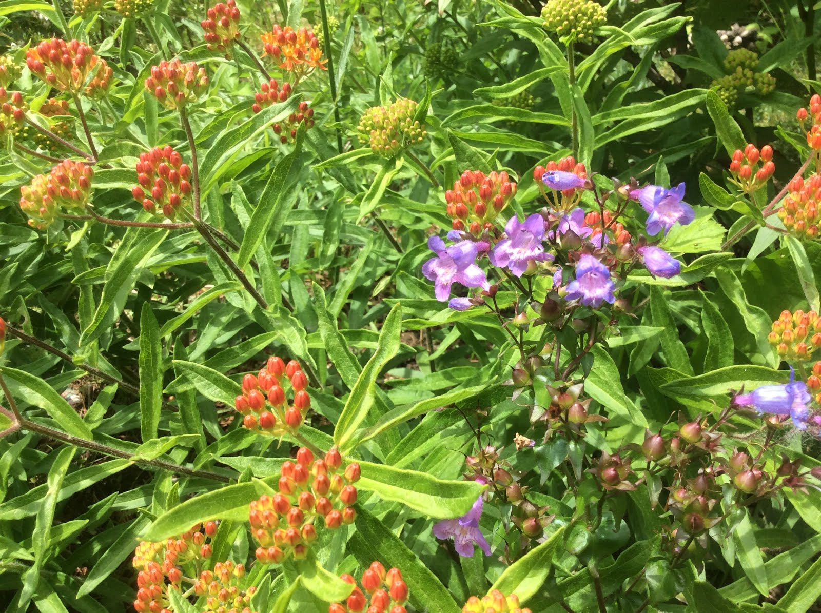 Asclepias and Penstemon