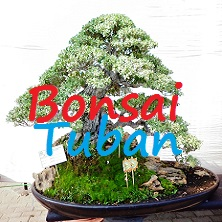 Bonsai Tuban