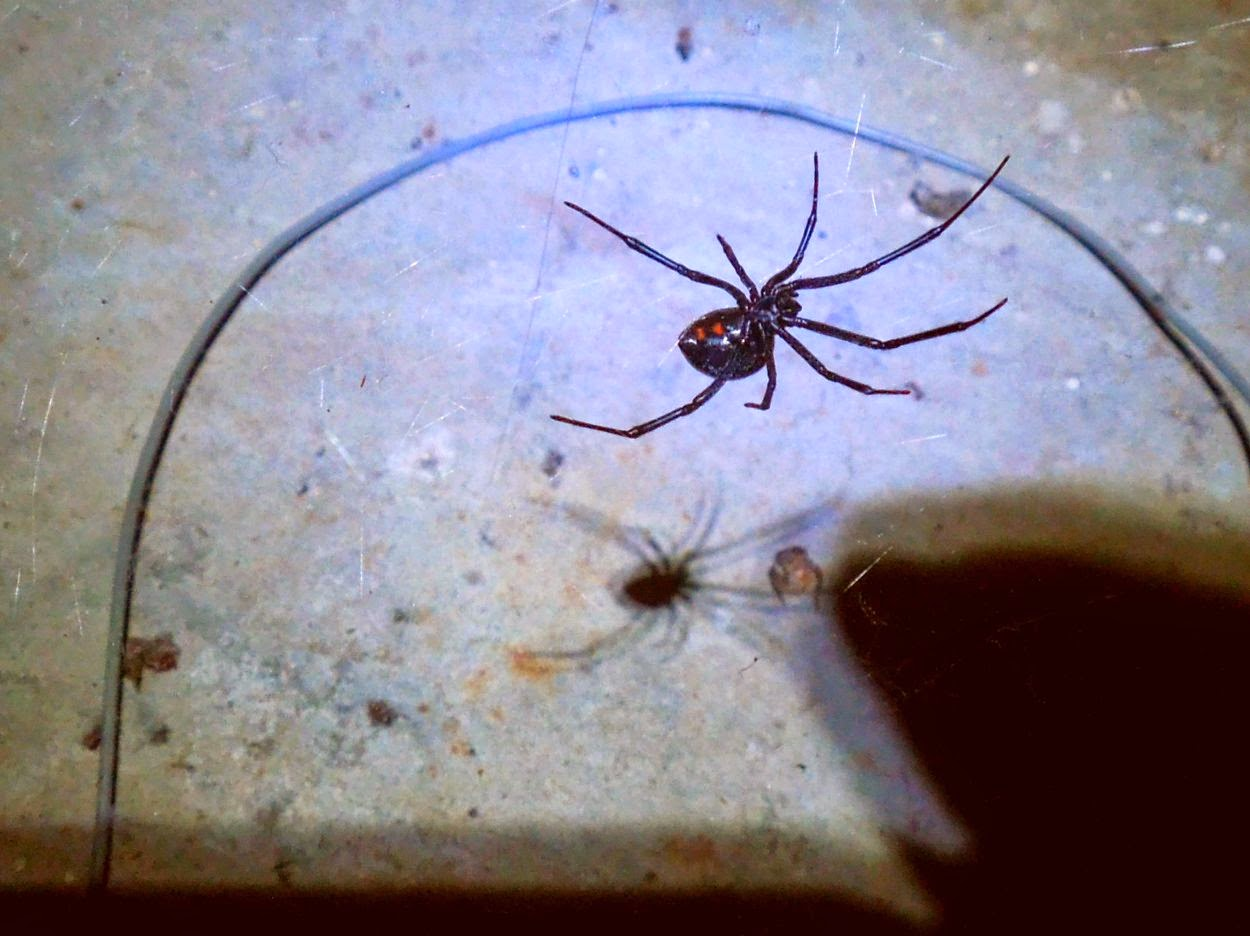 Raised by my daughter: What to do when you find a black widow