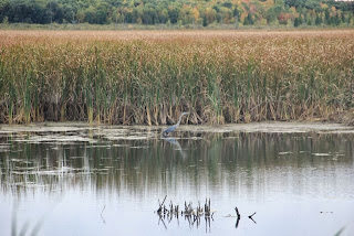 distant photo of Great Blue Heron