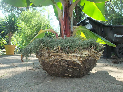 banana tree roots, pot, fertilize