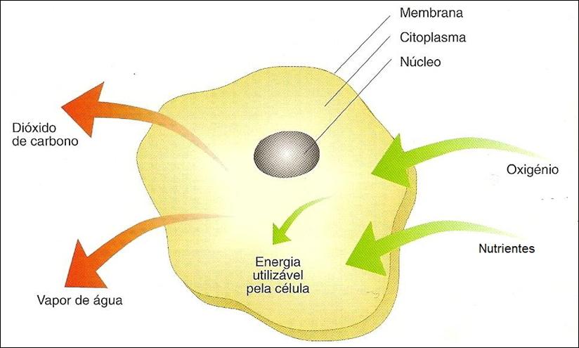 metabolismo celular anabolico y catabolico