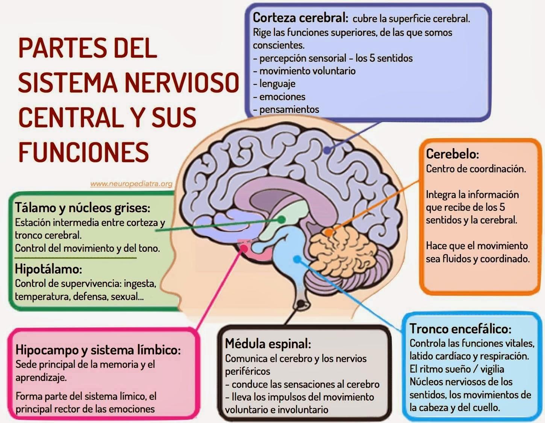 Cerebro su estructura y funciones