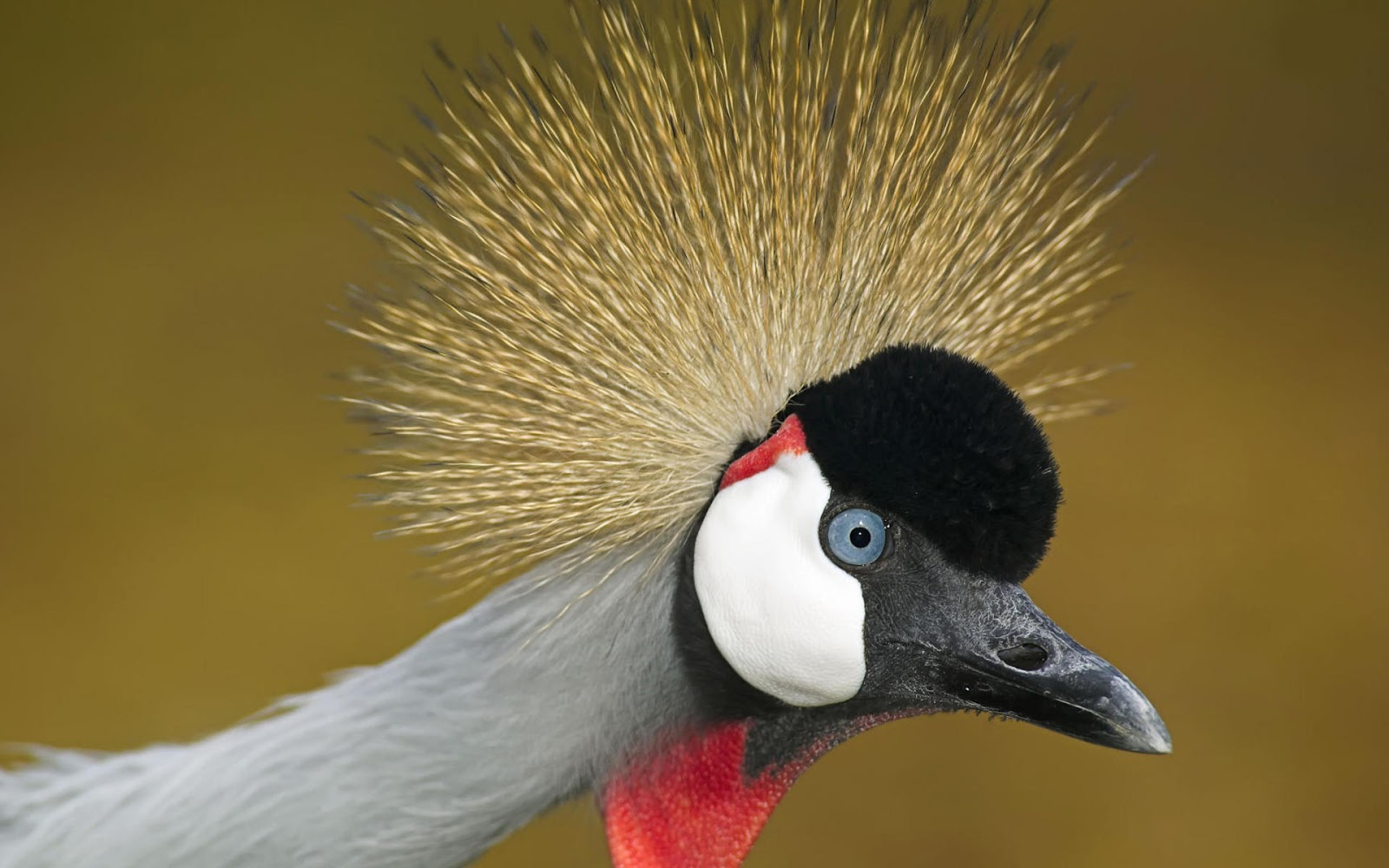 African crowned crane - photo#1