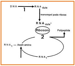 Science dominichus soal un perhatikan skema proses sintesis protein berikut ini ccuart Images