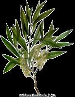 τεϊόδεντρο