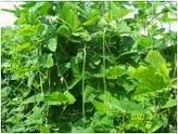 Klasifikasi kacang panjang, morfologi kacang panjang