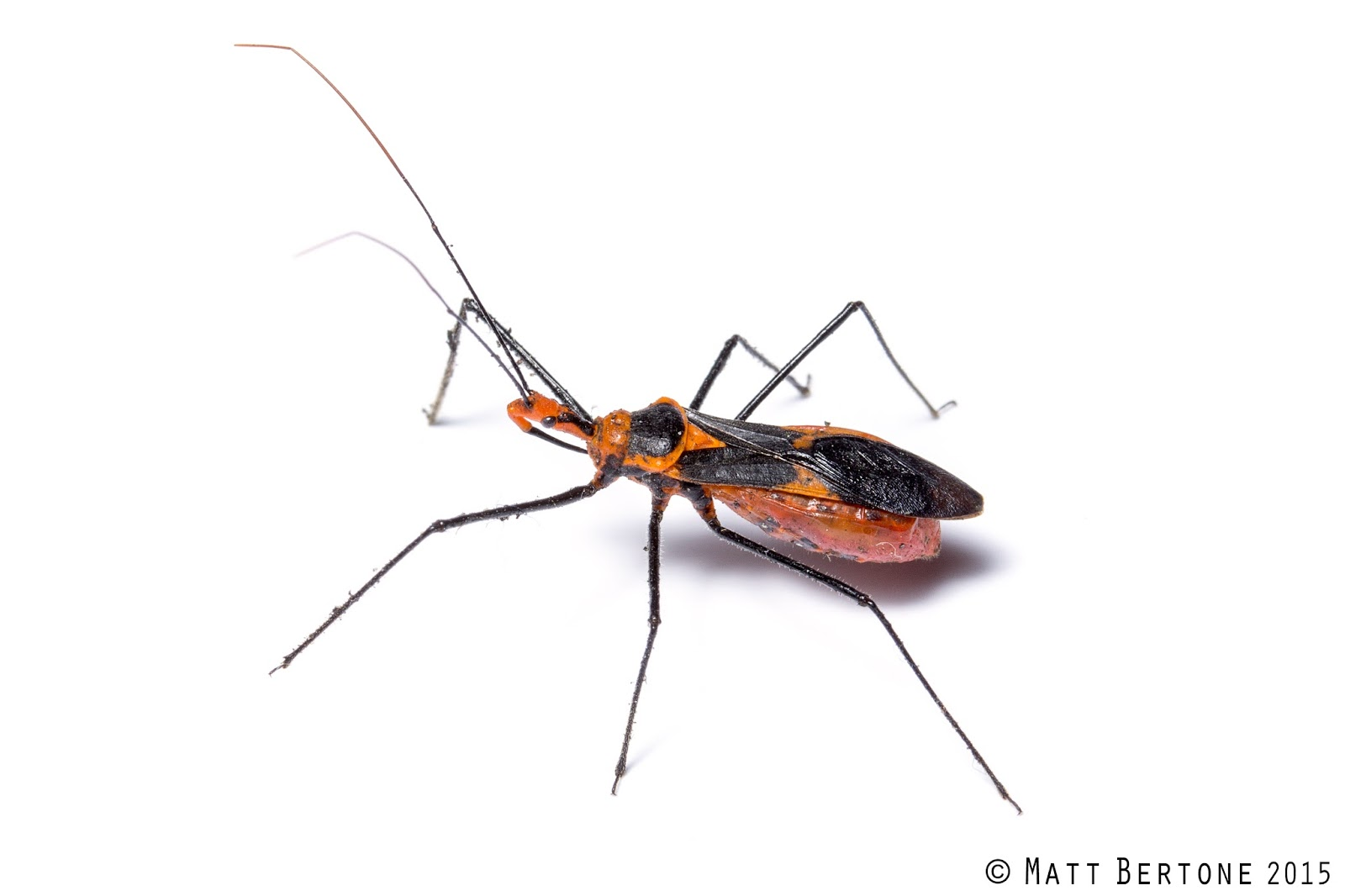 Milkweed assassins  Zelus longipes  are medium sized  distinctively  red orange and black assassin bugs with long legs  They are often found out  on plants. NCSU PDIC  Kissing Bugs and Chagas Disease in NC