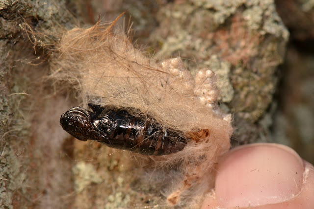 empty pupal case of tussock moth