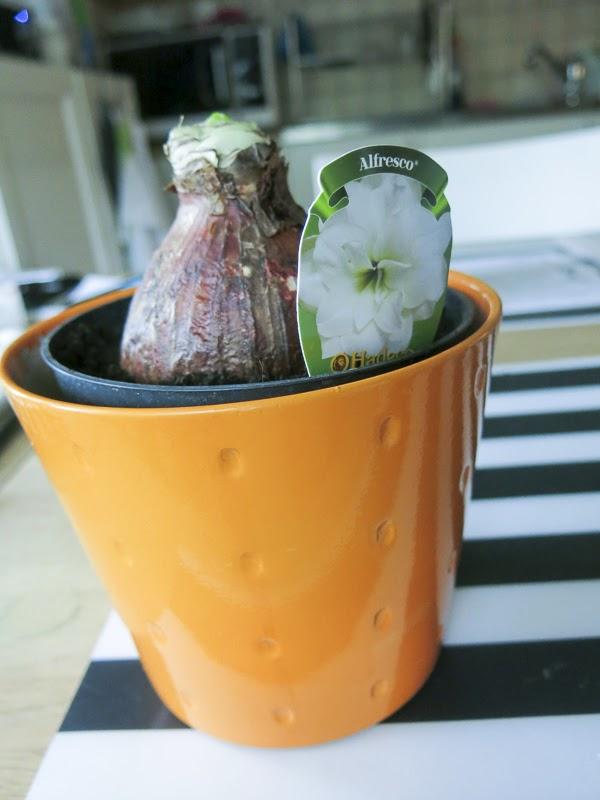 amaryllis, amaryllis alfresco