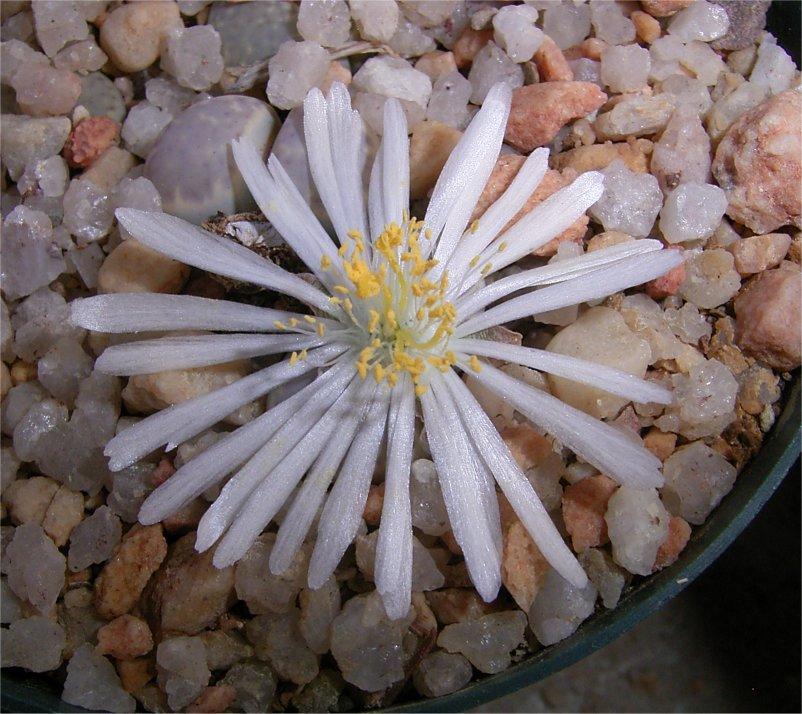 Lithops amicorum flower