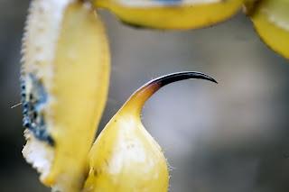 Para ampliar Buthus occitanus (Escorpión, alacrán) detalle del aguijón hacer clic