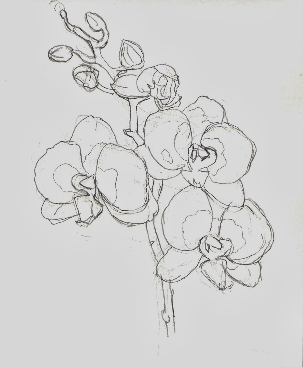 Pencil Drawings Of Orchids Orchid - extended gesture