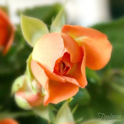 ruusu, ruusukuva, ruusukimppu