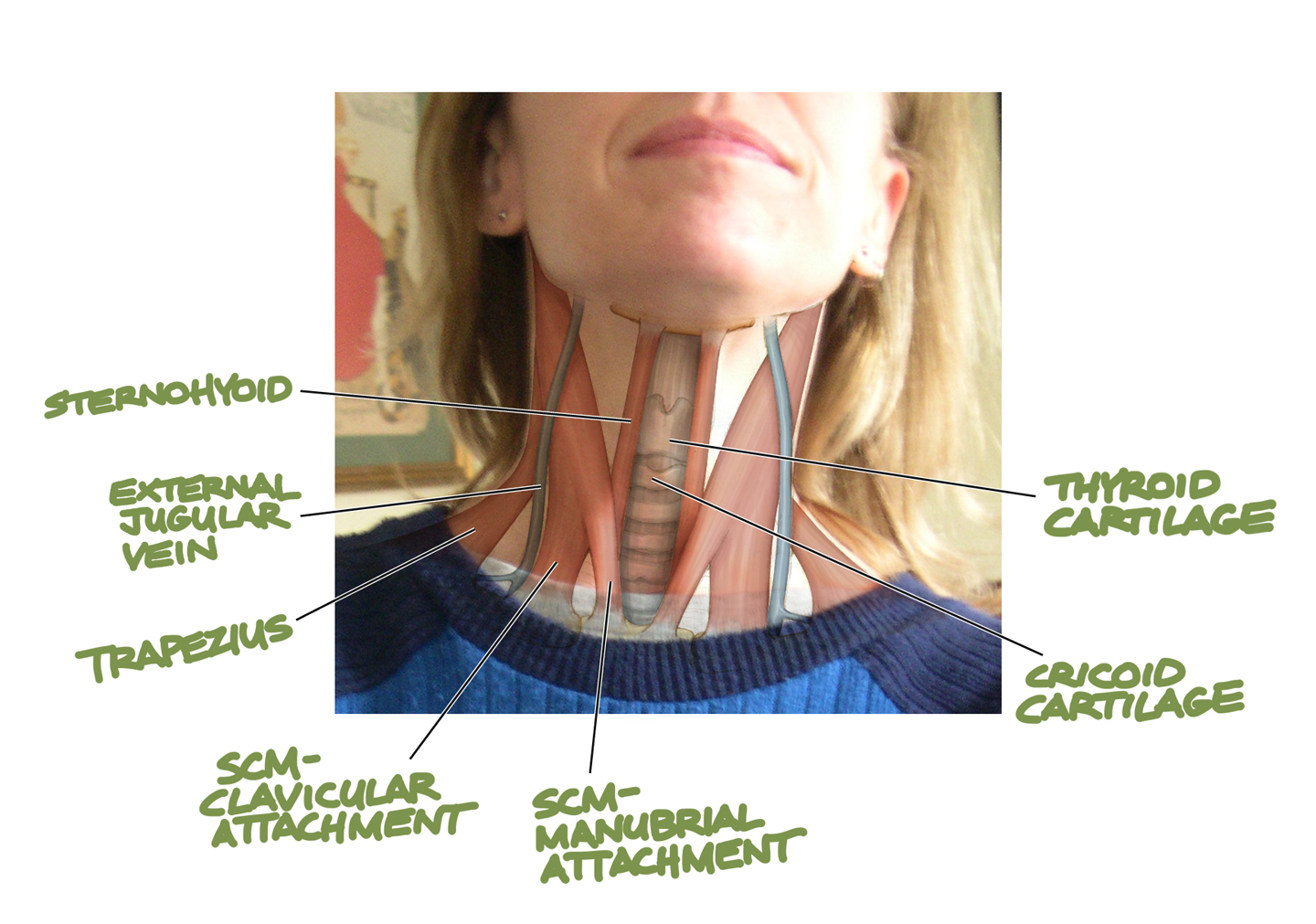 Human Anatomy For The Artist The Anterior Neck Theme And Variations