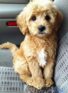 Cute Spoodle Puppy Looking Cute