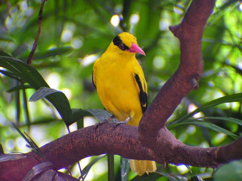 Foto Burung Kepodang Bali Terbaik