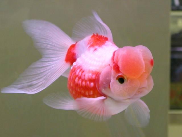 Peces y plantas ornamentales carassius auratus goldfish for Variedad de peces