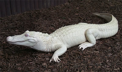 Albino Alligator - White Alligator - Jacaré Albino