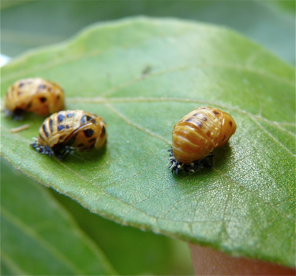 Bugs that look like bed bugs but arent