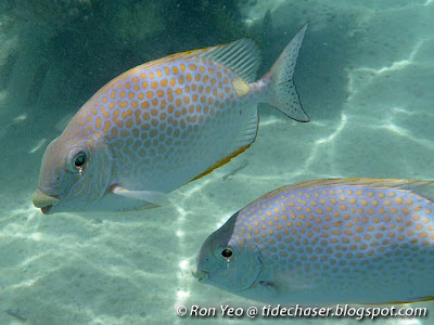 Orange-spotted Rabbitfish (Siganus guttatus)
