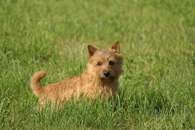 Norwich Terrier Puppies Pictures