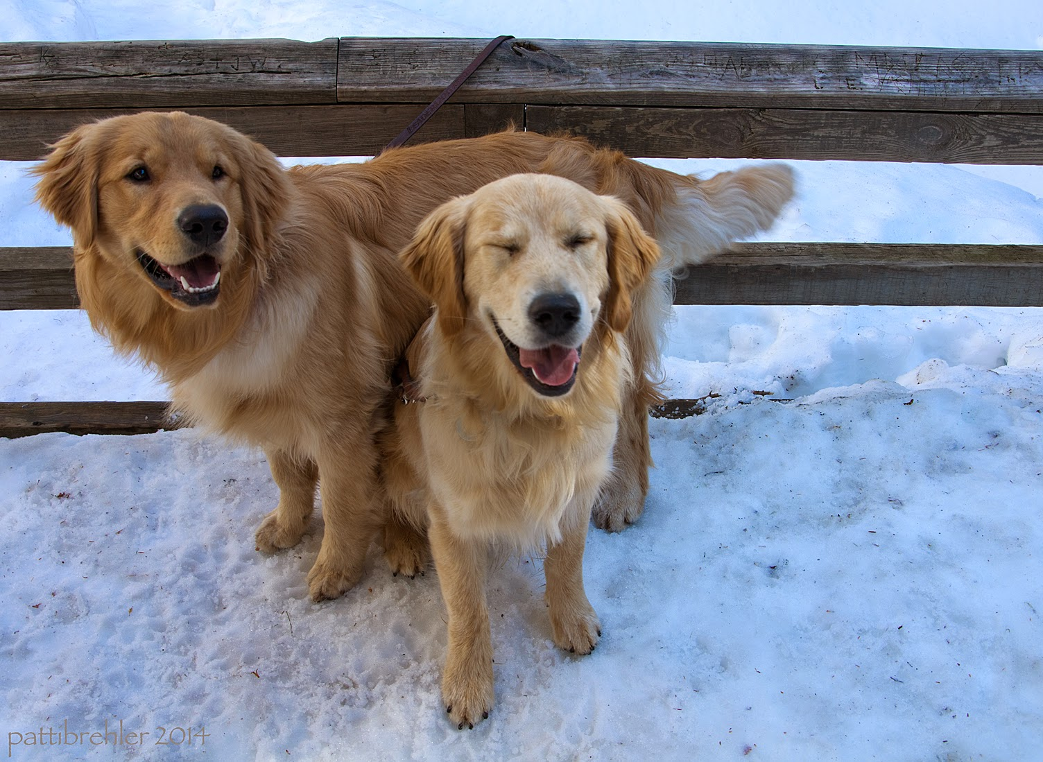 A cloer shot of the two goldens, who are now close together. One of them is sitting underneath the other one that is standing. The sitting golden has his eyes closed and looks like he is smiling. The dog that is standing is also smiling and is looking to the right. They are in front of the wooden fence, and all the rest is snow.