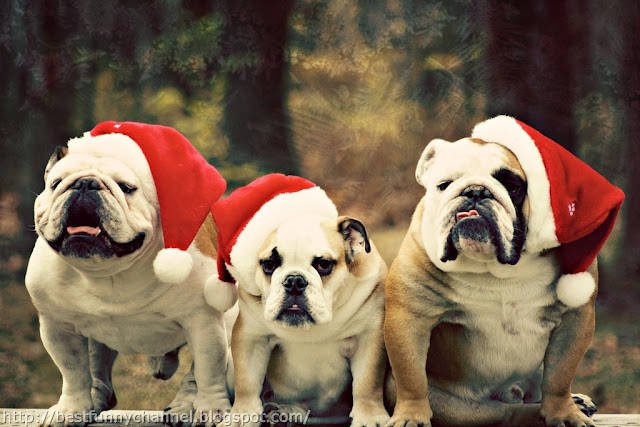 Three funny Christmas dogs.