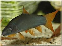 Redtail Botia Fish Pictures