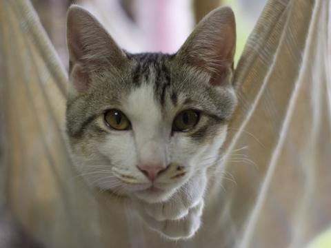 ハンモックから覗く猫