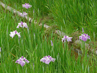 八丈ヶ池南側の花ショウブ。