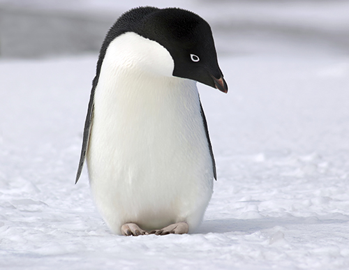 Images of adelie penguins - photo#16