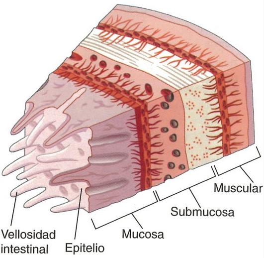 Pared intestinal