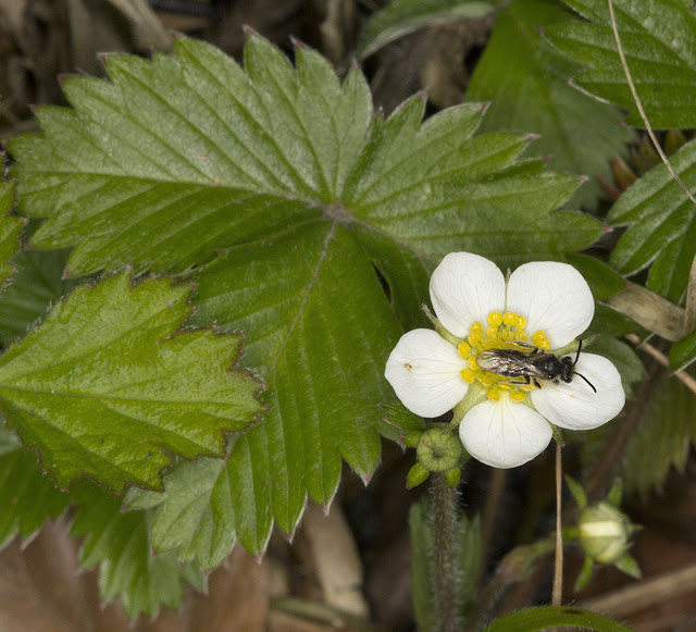 Identified in the field as Wild Strawberry, Fragaria vesca, but it has some of the signs of Barren Strawberry, Potentilla sterilis; but I'll follow Sue Buckingham's ID.  One Tree Hill, 27 April 2012.