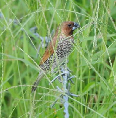 Spotted Munia (Lonchura striata)