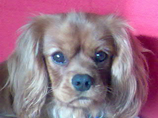 photo of Rufus, Cavalier King Charles Spaniel