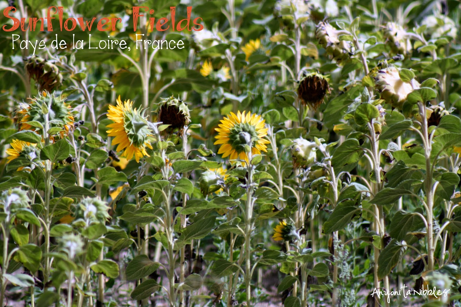 Sunflowers in France  Anyonita Nibbles