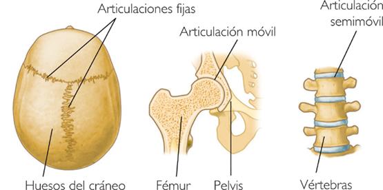 Las articulaciones semimóviles o anfiartrosis | El Cuerpo Humano
