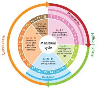 Terjadinya ovulasi sel telur, menstruasi, kehamilan dan menyusui semua diatur oleh sistem hormonal