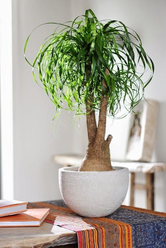 Qu planta de interior pongo beaucarnea - Plantas verdes de interior ...
