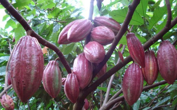 Kết quả hình ảnh cho cacao bến tre
