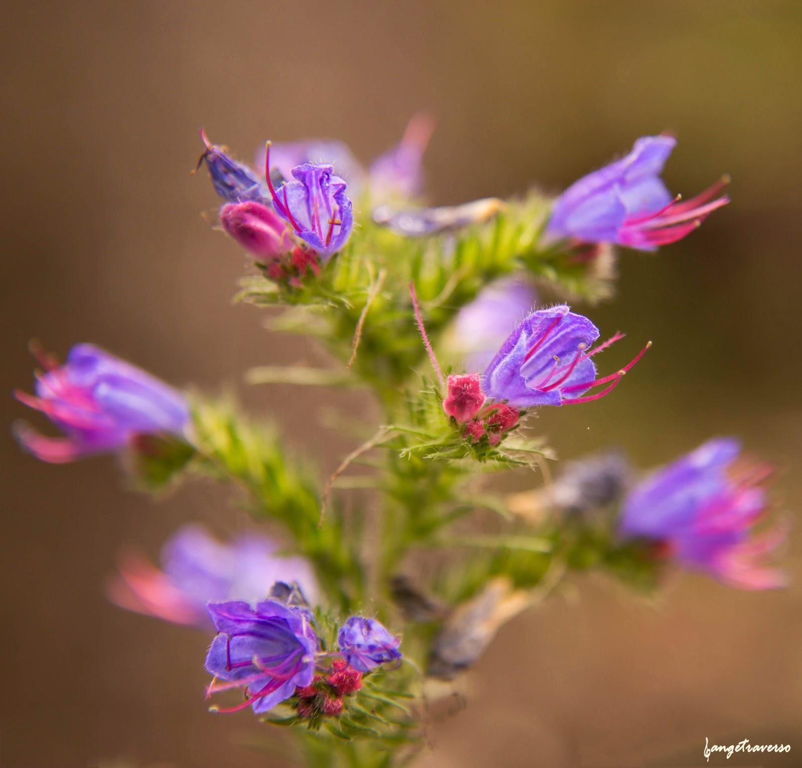 Flore des Alpes, Termignon, Savoie