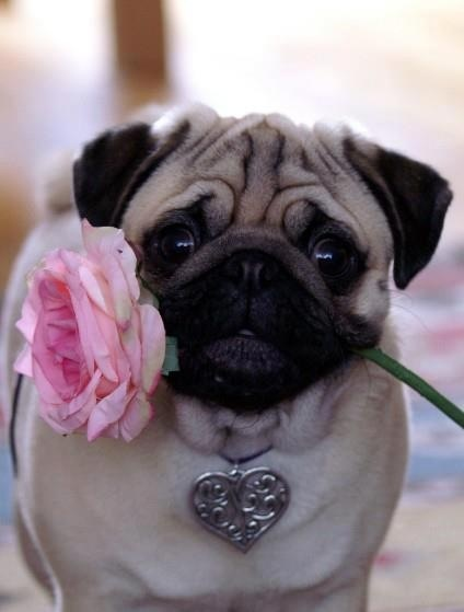 Romantic cute pug holding flower in his mouth