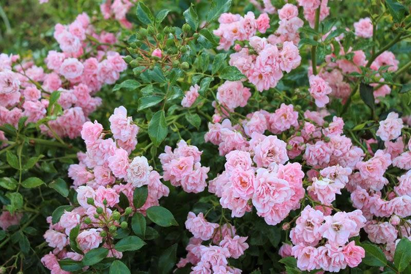 Fioriture rose luglio/agosto