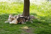 Arrowek i koza
